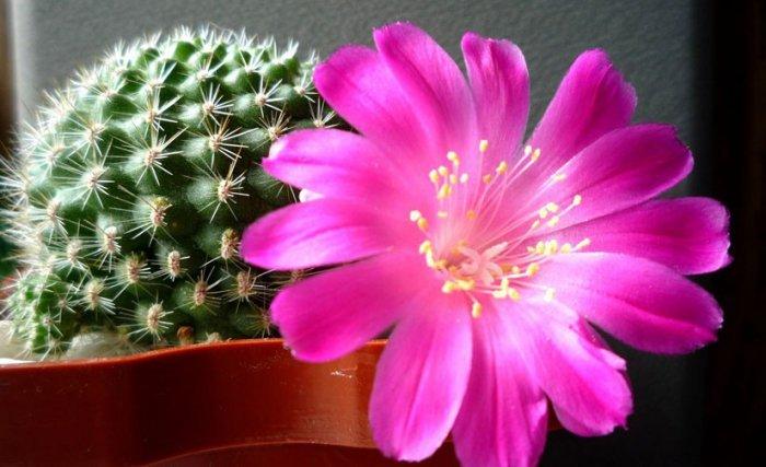 Как часто поливать кактус? Правила полива взрослых кактусов в домашних условиях